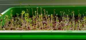 Microgreens am Fenster